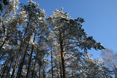 Pine trees under the snow. Tall pine trees covered with snow on blue sky background Stock Photo