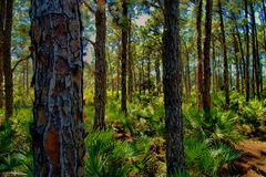 Pine trees. Vibrant image of pine trees with saw palmetto shrubs Stock Photography