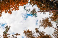Pine trees view from below into the sky. Pine trees view from below into royalty free stock photos