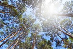 Pine trees. Pine trees view from below into the sky Stock Images