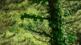 Pine trees & Vines,bushes in the wind,Dense swing tree,Hillside weeds & grass. Pine trees & Vines,bushes in the wind,Dense swing tree,Hillside weeds & stock video