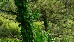 Pine trees & Vines,bushes in the wind,Dense swing tree,Hillside weeds & grass. Pine trees & Vines,bushes in the wind,Dense swing tree,Hillside weeds & stock footage