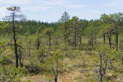 Pine trees of Viru bog Stock Photography