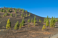 Pine trees in volcanic desert Royalty Free Stock Photos