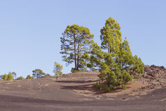 Pine trees in volcanic national park Royalty Free Stock Photo
