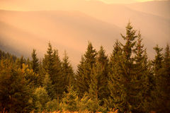 Pine trees in warm sun light and misty hills. On background. Carpathians landscape at sunset time Stock Photography