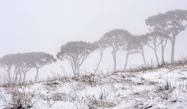 Pine trees in white Royalty Free Stock Image