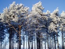 Pine trees in winter. Winter in a pine forest in Estonia Stock Photos
