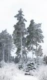 Pine trees in winter Stock Image