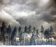 Pine trees in winter Royalty Free Stock Photos