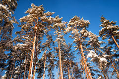 Pine trees in winter Stock Photos