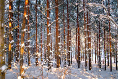 Pine trees in winter Stock Image