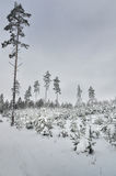 Pine trees in winter Stock Images