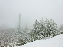 Pine trees in winter. Bulgaria Stock Photography