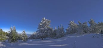 Pine-trees in winter. Pine-trees with snow and blue sky Stock Photos