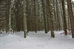 Pine trees in winter Royalty Free Stock Photography
