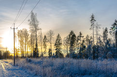 Pine trees in winter by a country road at sunset Stock Images