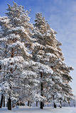 Pine trees in winter day Royalty Free Stock Photography