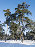 Pine trees in winter forest Royalty Free Stock Image