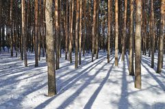 Pine trees in winter forest Stock Images