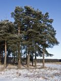 Pine trees at winter forest edge Stock Image