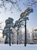 Pine trees in winter park Stock Image