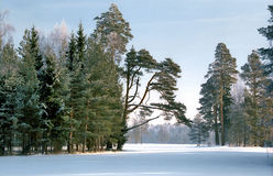 Pine trees in winter park Royalty Free Stock Images