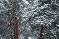 Pine trees in winter. Stock Image
