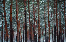 Pine trees in the winter snowy forest. The pine trees in the winter snowy forest Royalty Free Stock Photo