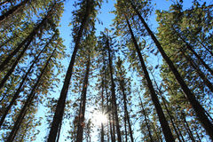 Free Pine Trees With Sun Stock Image - 22461891