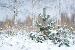 Pine trees in a wood. The image of pine trees in a wood stock photography