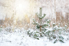 Pine trees in a wood. The image of pine trees in a wood stock photos
