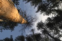 Pine trees - Worm's eye view Royalty Free Stock Photo