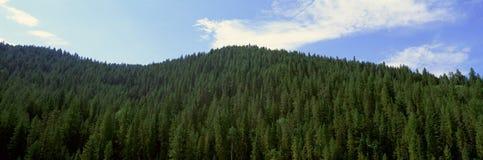 Pine trees, Wyoming Royalty Free Stock Image
