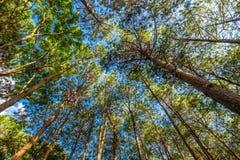Pine treetop Royalty Free Stock Photo
