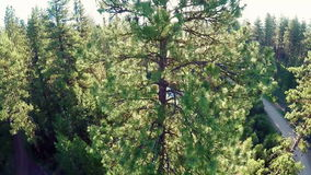 Pine Treetops of a forest in the mountains of Idaho stock footage