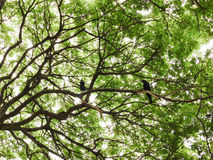 Pine Treetops Royalty Free Stock Photography