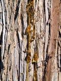 Pine trunk Royalty Free Stock Photos