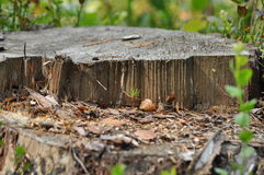 Pine trunk Chainsaw beheaded. Seedling young tree Stock Photo