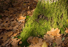 Pine trunk covered with moss.Horizontal. Royalty Free Stock Photo