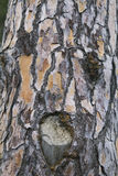 Pine trunk Stock Image