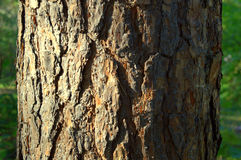 Pine trunk. Sunlit bark on the trunk of the pine in the forest Stock Images