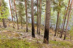 Pine trunks burned by wildfire. At a ridge forest slope by a lake Royalty Free Stock Image