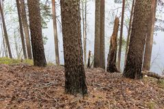 Pine trunks burned by wildfire. At a ridge forest slope by a lake Stock Photo