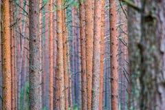 Pine trunks close-up stock photo