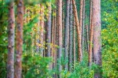 Pine trunks stock photos
