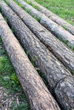 Pine trunks Stock Photo