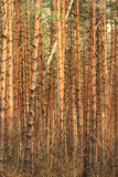Pine trunks pattern Royalty Free Stock Photo
