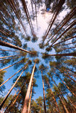 Pine trunks perspective. Perspective of pine trees (trunks) shot with wide angle fish-eye lens with sun and blue sky as a background Stock Photos