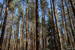 Pine trunks in spring forest. Pine trunks on blue sky background in spring forest, sunny day Stock Image